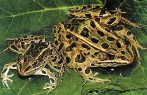 Леопардовые лягушки