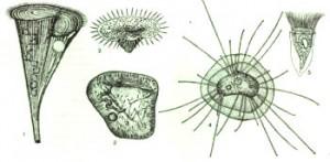 Различные виды инфузорий