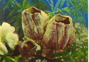 Морской желудь